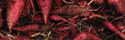 あおちゅうは、青ヶ島の自然が育んださつまいもを主原料にしています。
